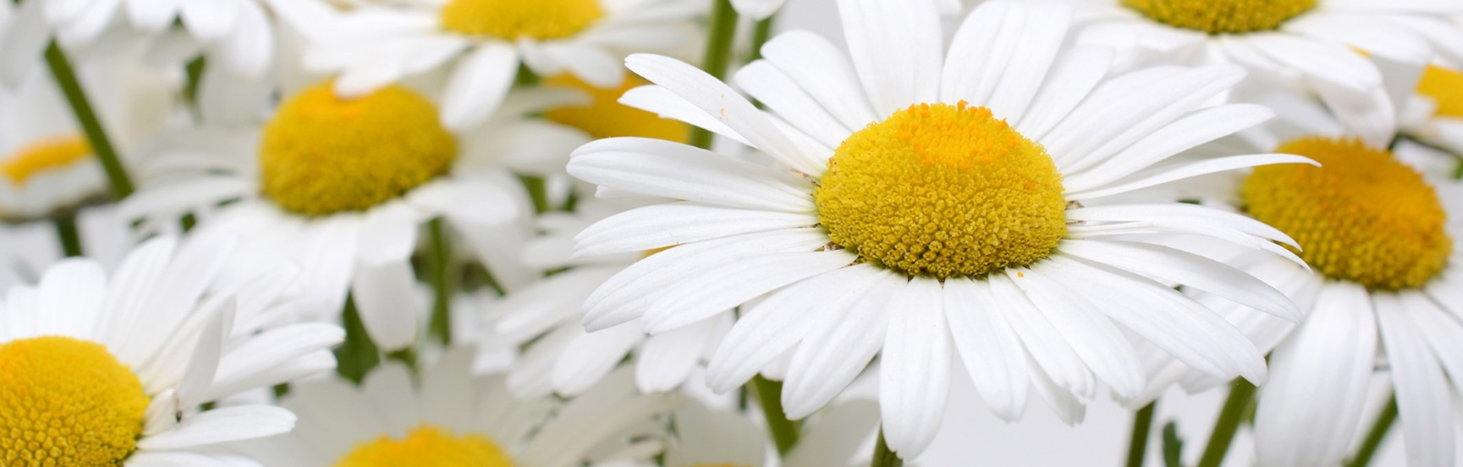 Daisies, fresh and hopeful